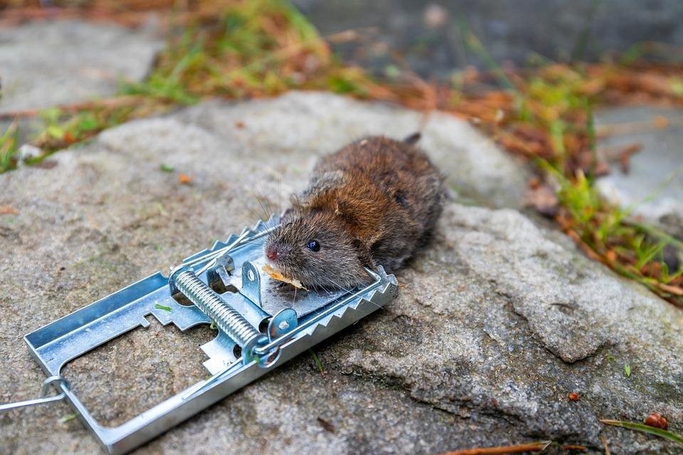 Conseils et remèdes : Expulser les rats du jardin, de la maison et du commerce